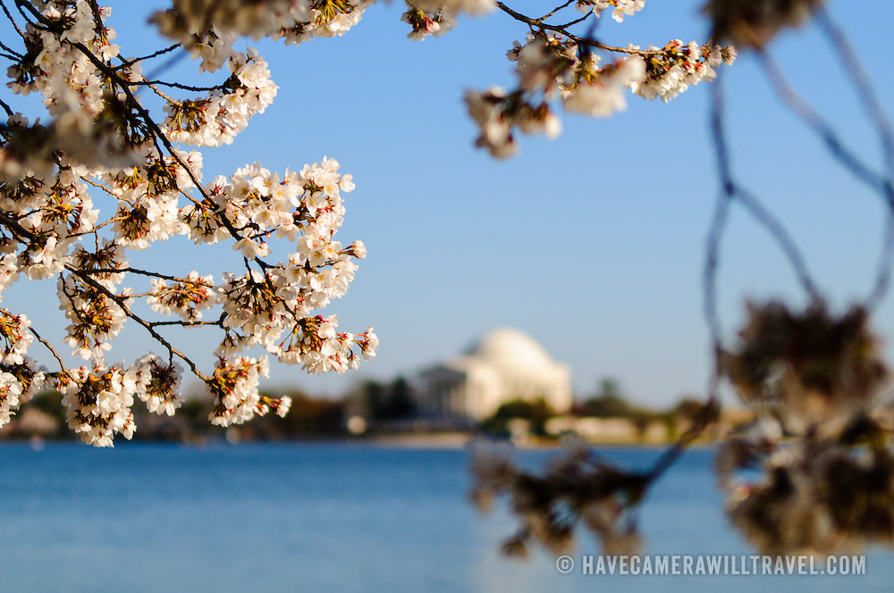 Cherry Blossom flowers in bloom frame the Jefferson Memorial in the distance during peak bloom period in the the spring around the Tidal Basin in Washington DC.