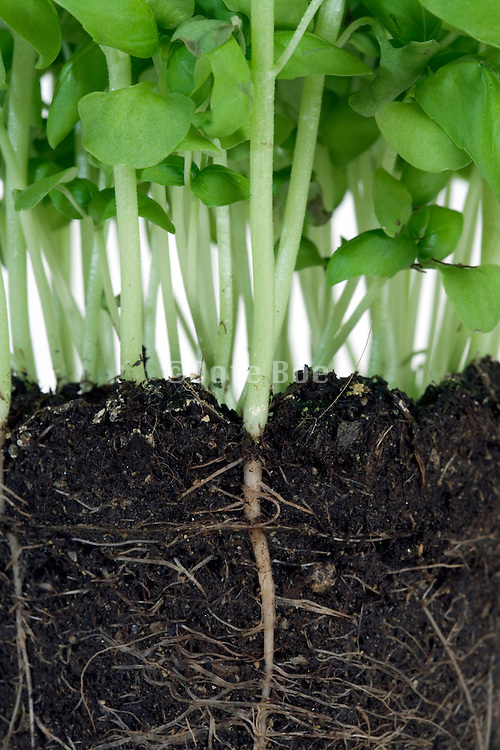 roots on a basil herb potted plant