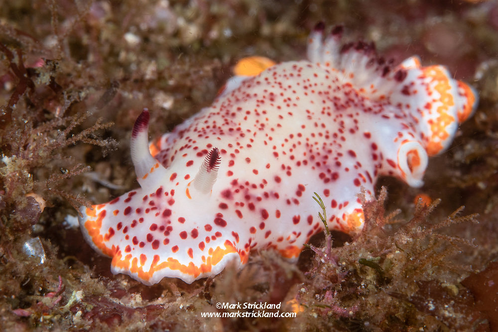 Baumann's Chromodorid nudibranch, Glossodoris baumanni, Midriff Islands, Sea of Cortez, Mexico