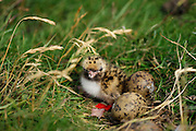 Arctic tern chick (Sterna paradisaea) on Hallig Nordstrandischmoor, North Frisian Islands on Schleswig-Holstein's Wadden Sea-North Sea coast; Germany | Küsten-Seeschwalbe, Küstenseeschwalbe, Küken, Jungvogel, Seeschwalbe, Sterna paradisaea, in der Salzwiese von Hallig Nordstrandischmoor, Deutschland