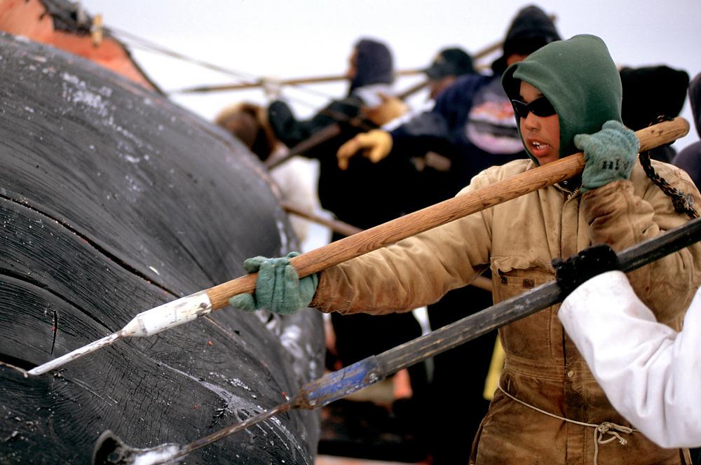 Barrow, Alaska, community members and whalers work together to harvest a bowhead whale carcass killed in the annual Alaska Naive hunt near Barrow