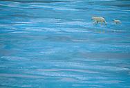 Polar Bear, female and cub, on turquoise sea ice, Ursus maritimus, Baffin Island, Nunavut, Canada, Arctic