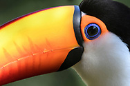 A close-up portrait of a toco toucan (Ramphastos toco) at the Parque das Aves at the Iguazu Falls, Brazil