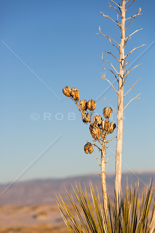 desert plant in White Sands, NM