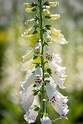Digitalis purpurea 'Dalmatian White' - Dalmatian Series - Foxglove