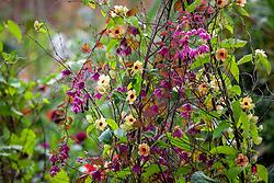 Rhodochiton atrosanguineus 'Purple Bells' - Purple bell vine -and Thunbergia alata 'African Sunset' growing up a birch tripod