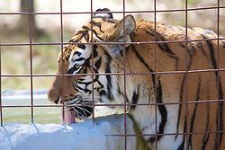Tiger, Big Cat Rescue