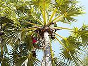 in the flatlands around Mount Popa, a farmer climbs a toddy palm tree to collect the sap for making toddy (an alcoholic drink) and jaggery (palm sugar), Mandalay division, Myanmar (Burma).