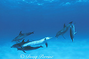 Atlantic spotted dolphins, Stenella frontalis, open-mouth threat display, Little Bahama Bank, Bahamas ( Western Atlantic Ocean )