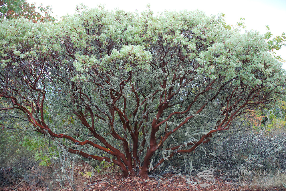 Manzanita trees are are very common in the Rogue Valley with their dark red and smooth bark