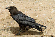 Brown-necked Raven - Corvus ruficollis