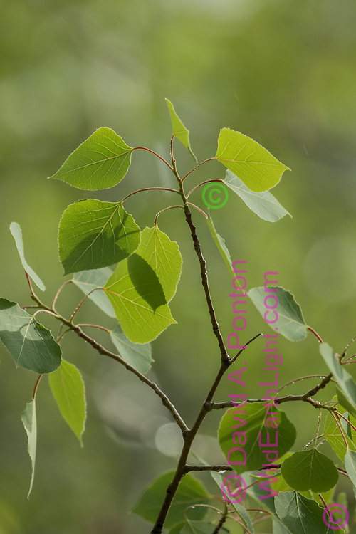 New leaves of aspen with soft background of the aspen grove, Jemez Mountains, NM, © David A. Ponton