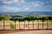 Farm tractor and umbrella pine trees at Sovicille near Siena in Tuscany, Italy