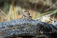 While mostly harmless to humans (they might bite is self-preservation), robber flies are fierce ambush predators that wait perch patiently for a flying insect to fly by, then launch into the air, overpower then dispatch their prey mid-flight. They hunt grasshoppers, bees, wasps, butterflies and even other flies! This one was found hunting in the Oak Creek State Wildlife Area, just outside of Yakima, Washington on a hot, late-spring day.