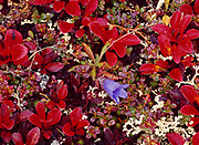 Harebell, Campanula lasiocarpa, blooming among autumn leaves of alpine bearberry, Arctostaphylos sp., alpine ridge along Top of the World Highway above Clifton, Yukon Territory, Canada.