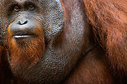 A close-up of a dominant male orangutan (Pongo pygmaeus) face with large flanges, Borneo, Indonesia