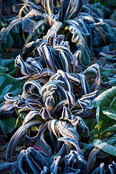 Hoar frost on chicory