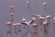 Puna or James's Flamingos<br />Phoenicopterus jamesi<br />Laguna Colorada, BOLIVIA   South America<br />RANGE: High Andes of S. Peru to nw Argentina & Chile