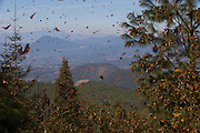 Monarch Butterflies mass in the Cerro Pellon mountain at the Monarch Butterfly Biosphere Reserve in Cerro Pellon central Mexico in Michoacan State. Each year hundreds of millions Monarch butterflies mass migrate from the U.S. and Canada to Oyamel fir forests in the volcanic highlands of central Mexico. North American monarchs are the only butterflies that make such a massive journey--up to 3,000 miles (4,828 kilometers).