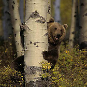Grizzly Bear, (Ursus horribilis) Standing up holding tree. Late Fall. Montana.   Captive Animal.
