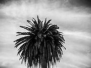 Palm Tree, Seacliff State Beach, Aptos, Ca