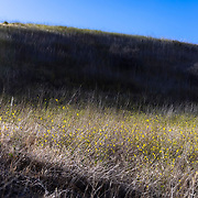 Mustard covers the hills of the Santa Monica Mountains near the Victory Trailhead in West Hills, California.