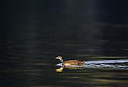 Sungrebe<br />Heliornis fulica<br />Manu National Park.  PERU.  South America<br />Range: s. Mexico to Brazil