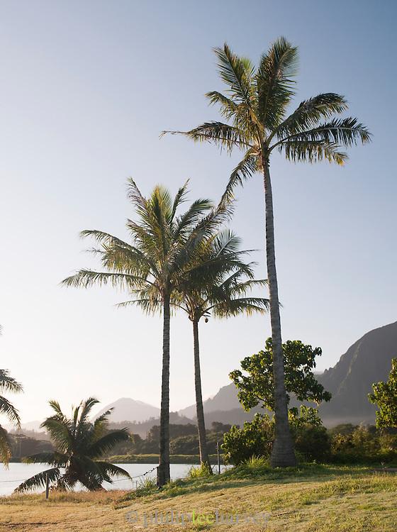 Palm trees at Kualoa Regional Park on the island of O'Ahu, Hawai'i