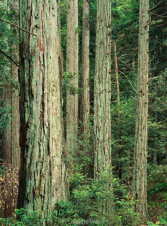 Redwood Groveafter Spring Rain,Samuel P. Taylor State Park, California