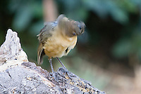Tawny Antpitta, Grallaria quitensis, shakes its head while perched on a log near Quito, Ecuador