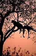 Leopard male in tree with Impala carcass, Botswana Okavango Delta