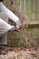 Pruning a late flowering clematis in winter. Cutting back to just above a bud.