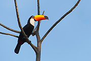 Toco toucan (Ramphastos toco) from Porto Jofre, Pantanal, Brazil.