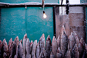 Stall with standing deep-frozen fish on the Yakutsk outdoor fish market. Yakutsk (Russian: Яку́тск) is a city in the Russian Far East, located about 4° (450 kilometres) south of the Arctic Circle. It is the capital of the Sakha (Yakutia) Republic in Russia with a major port on the Lena River. The city has a population of 264.000 (2009). Yakutsk is one of the coldest cities on Earth. The average monthly winter temperature in January is around −43,2 °C. Yakutsk, Jakutsk, Yakutia, Russian Federation, Russia, RUS, 16.01.2010.