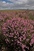 Clumps of flowering heather growing on Exmoor, Devon, U.K.