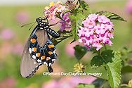 03004-01407 Pipevine Swallowtail butterfly (Battus philenor)  on pink lantana, Marion Co., IL