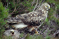 HEN HARRIER Circus cyaneus Female with young at nest. Wingspan 100-120cm. Britain's most familiar harrier, usually seen gliding at slow speed, low over the ground. Adult male has pale blue-grey plumage except for white belly, white rump and black wingtips. Adult female is brown with darker barring on wings and tail, streaking on body underparts, and a narrow white rump. Juvenile is similar to adult female but breast and wing coverts are brighter. Voice – mainly silent. Status and habitat – Breeds on upland moorland, winters on lowland heaths and near coasts.