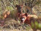 Buffalo Vs Hyena