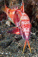 A colorful Goatfish poses for a shot, with barbels fully extended.  (vertical crop)<br /> <br /> Shot in Indonesia