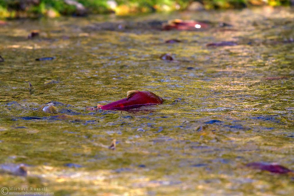 Sockeye Salmon (Oncorhynchus nerka) swimming upstream in the Weaver Creek Spawning Channel near Agassiz, British Columbia, Canada.