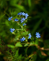 Forget-me-not flowers. Image taken with a Nikon D850 camera and 60 mm f/2.8 macro lens