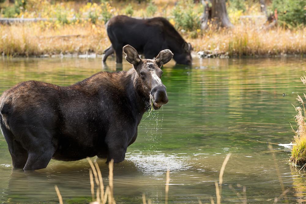 Moose at a beaver pond in Colorado's Weminuche Wilderness.
