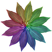 Digitally enhanced image of 12 rainbow coloured leaves arranged in a circular design