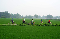 August 8, 2017 - Allahabad, Uttar Pradesh, India - Allahabad: Indian youth paddle cycle as they going to their tution classes near rice paddy field at outskirts of Allahabad on 08-08-2017. Photo by prabhat kumar verma (Credit Image: © Prabhat Kumar Verma via ZUMA Wire)