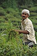 Man works in a tea plantation in Darjeeling, West Bengal, India