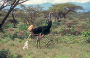 Urinating Somali ostrich. The Somali ostrich (Struthio molybdophanes), also known as the blue-necked ostrich, is a large flightless bird native to the Horn of Africa. It was previously considered a subspecies of the common ostrich, but was identified as a distinct species