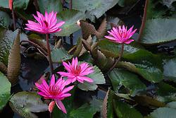 Water Lily, magenta #15 horiz