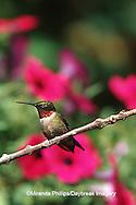 01162-070.03 (MW) Ruby-throated Hummingbird (Archilochus colubris) male perched near flower garden  Shelby Co.  IL