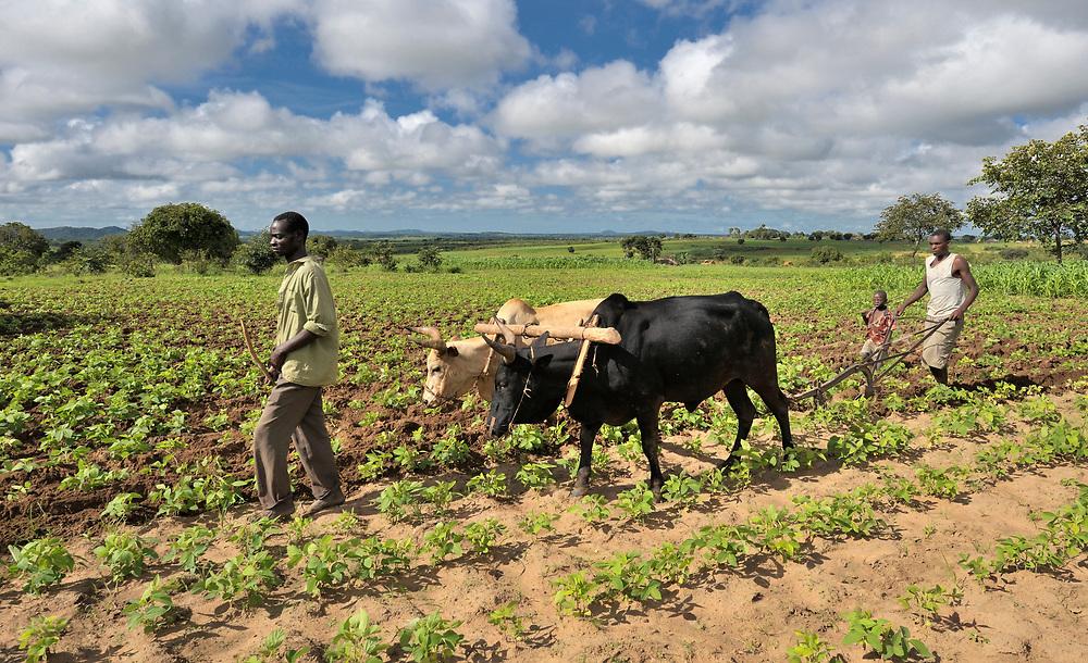 Farmers plow a field near Kajumi, in northern Malawi.