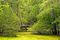NC01286-00...NORTH CAROLINA - Arched bridge over a marsh on the Center trail through a  maritime forest at Nags Head Woods Preserve on the Outer Banks at Nags Head.